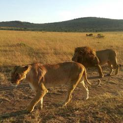 Lions seen looking for prey on a wildlife safari in masai mara kenya