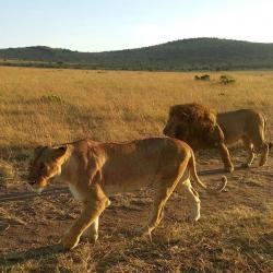 Lions seen roaming on a wildlife safari in masai mara kenya
