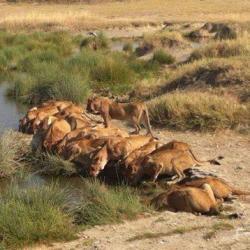 Lions seen sipping water in Mara, on a wildlife safari in masai mara kenya