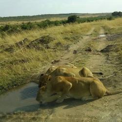 Lions seen on a wildlife safari in masai mara kenya