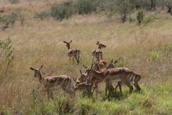 Antelops in Masai Mara