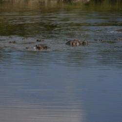 Hippos at Keekorok Lodge Dam
