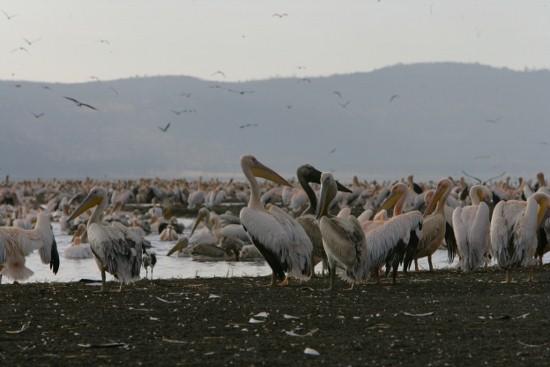 Lake Nakuru Plamingoes