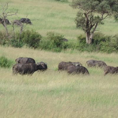 Masai mara 2016 561