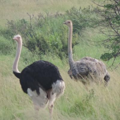 Masai mara 2016 567