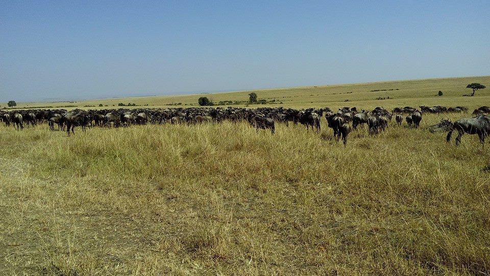 Masai Mara Budget Safaris- Herd of Buffaloes