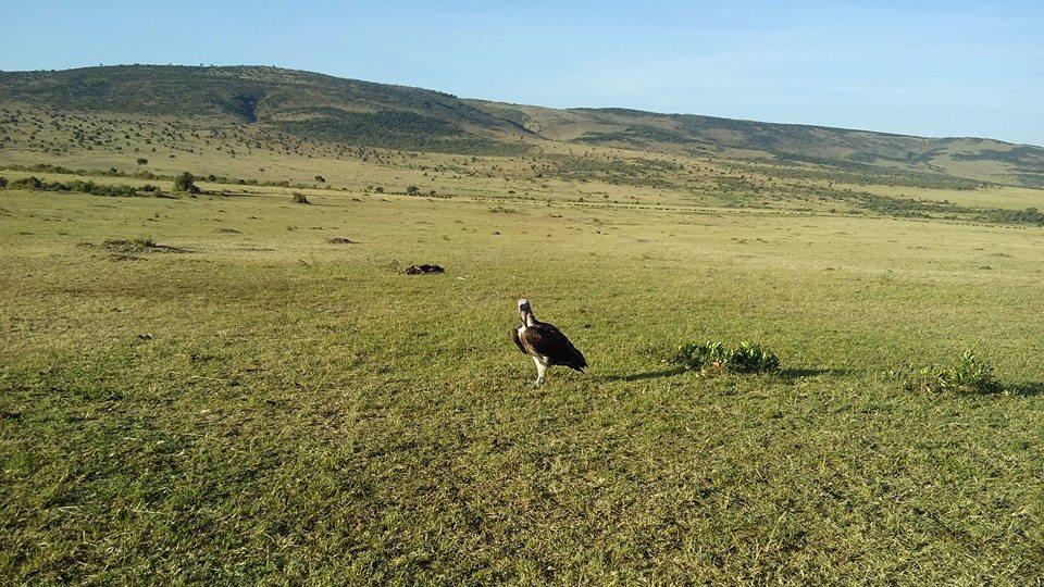 Masai Mara Budget Safaris- Vultures