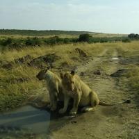 Lions Viewed on a wildlife safari. Courtesy YHA Kenya Travel