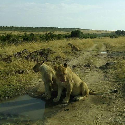 Lions Viewed on a wildlife safari. Courtesy YHA Kenya Travel