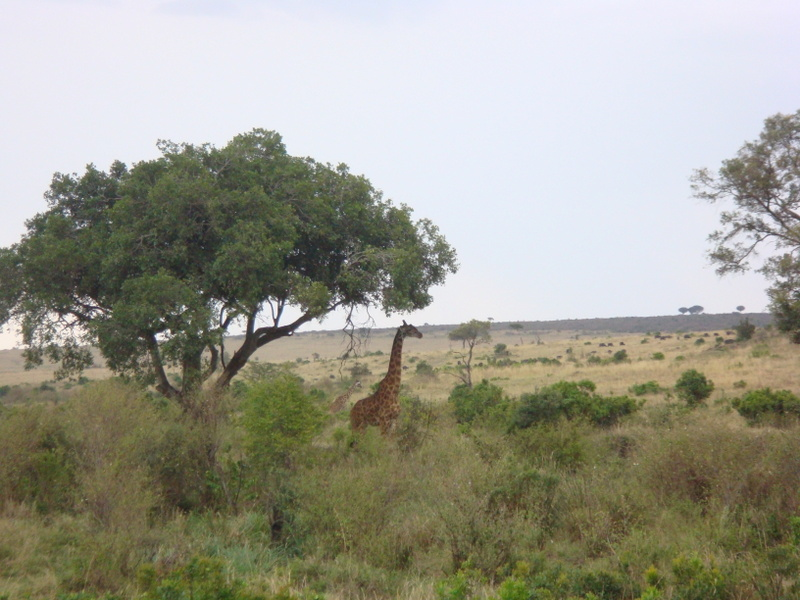 Kenya Adventure Safaris/yha kenya travel/Giraffes
