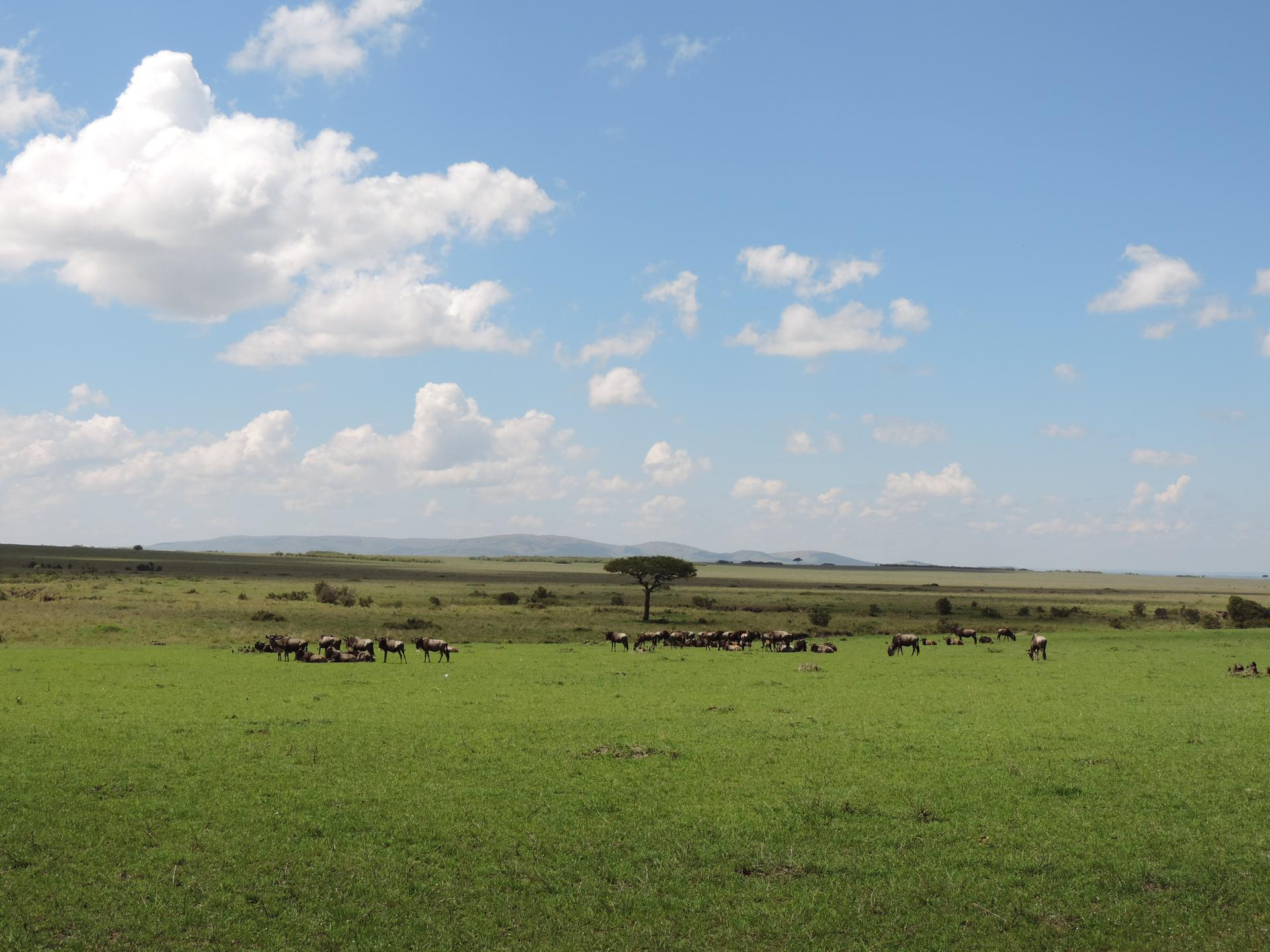 Wildebeests Masai Mara Kenya.Photo by YHA Kenya Travel-Budget wildlife safari