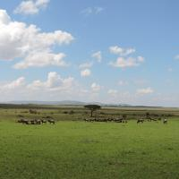 Wildebeests Masai Mara Kenya.Photo by YHA Kenya Travel