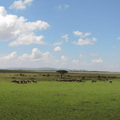 Wildebeests Masai Mara Kenya.Photo by YHA Kenya Travel