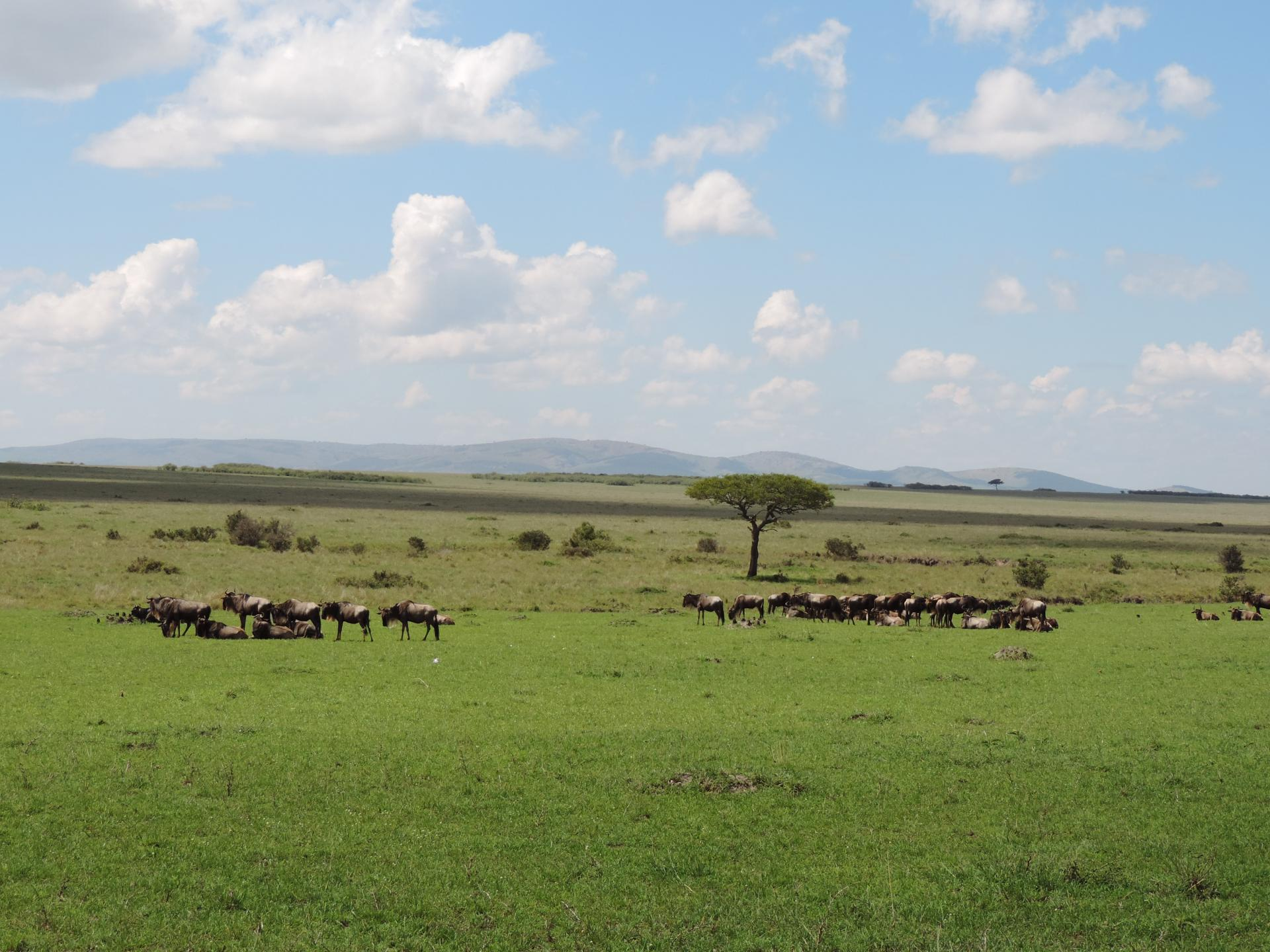 Wildebeest & Sceanic Views of Masai Mara Kenya Adventure Budget Safari