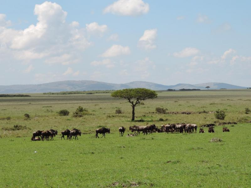 Wildebeests seen in Masai Mara Kenya.Photo by YHA Kenya Travel