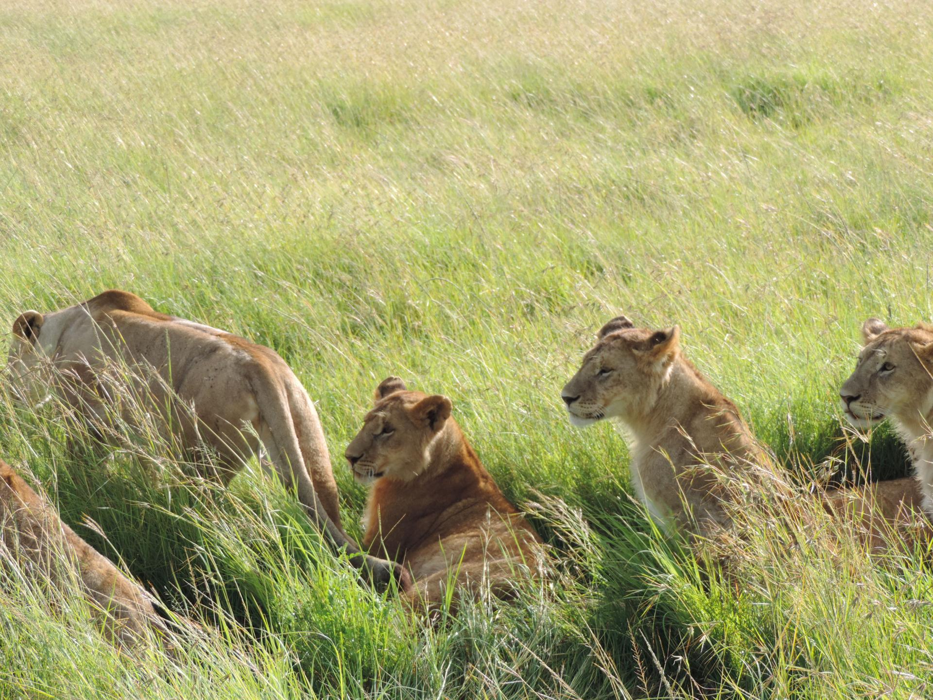 African Lion yha Kenya Travel- camping safari