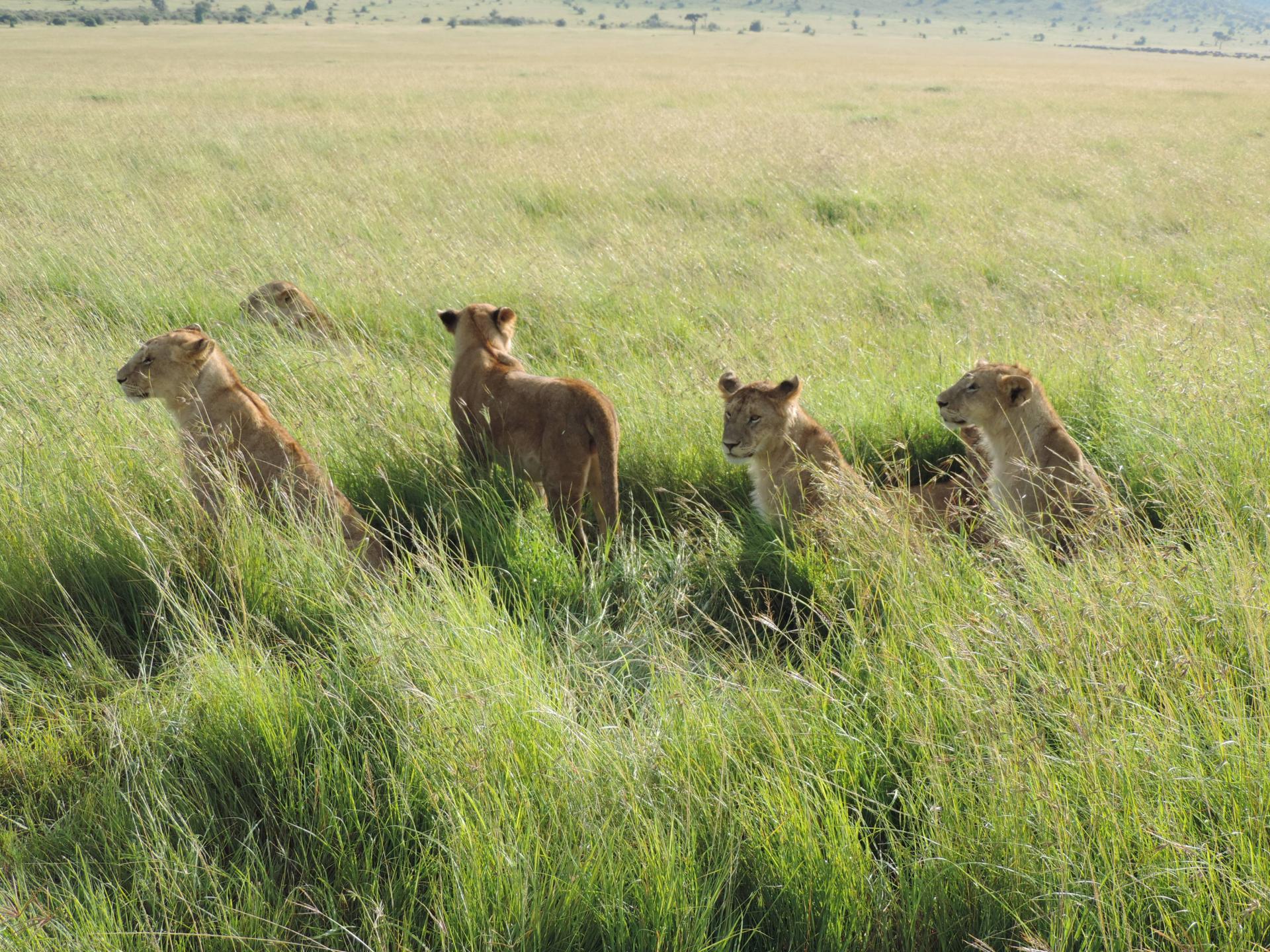 African Lion yha Kenya Travel- camping safari