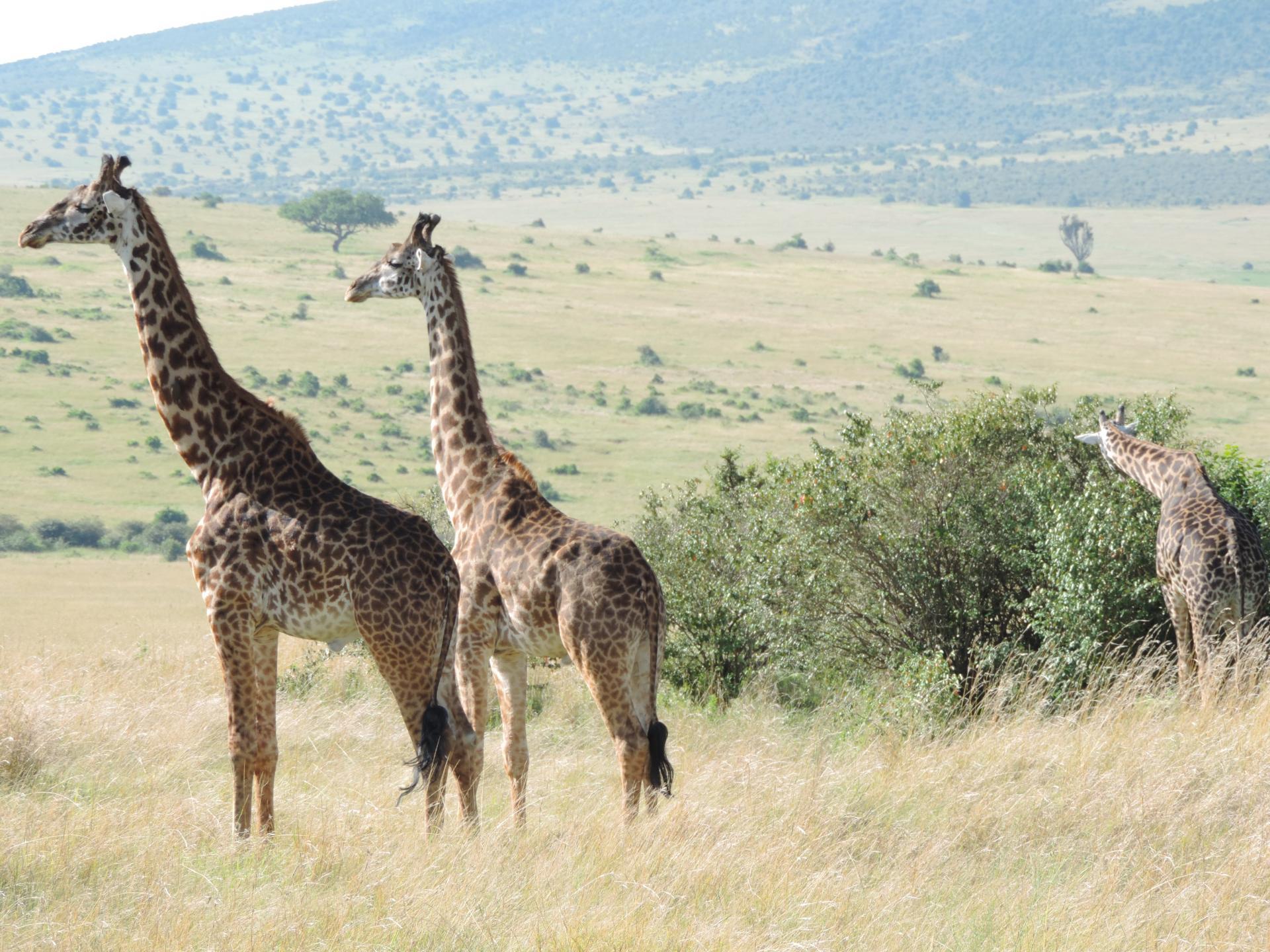 Kenya Adventure Safaris-Giraffes