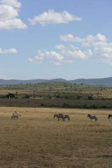 Herd Of Roaming Zebra in Mara-YHA-Kenya Travel