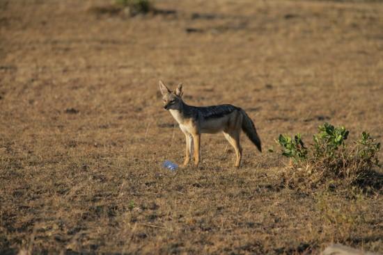 Jackel In Masai Mara Reserve-YHA-Kenya Travel