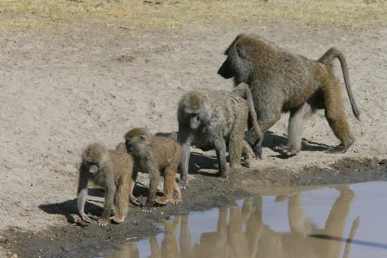 Masai Mara Baboons -YHA-Kenya Travel
