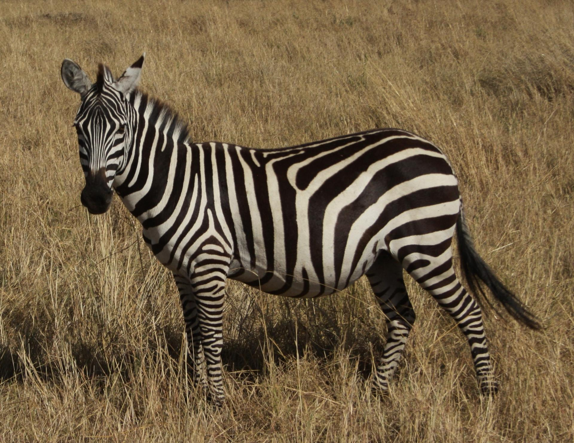 Zebra In Masai Mara.Photo By  YHA Kenya Travel
