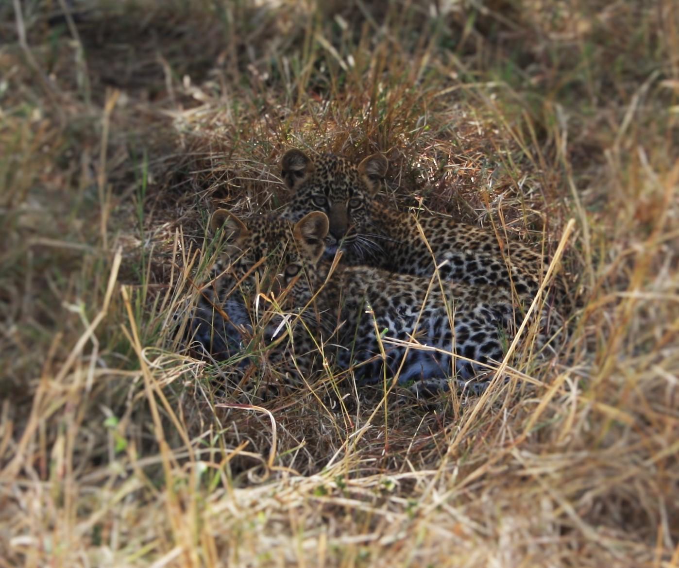 Leopard Seen On Wildlife Safari Masai Mara.