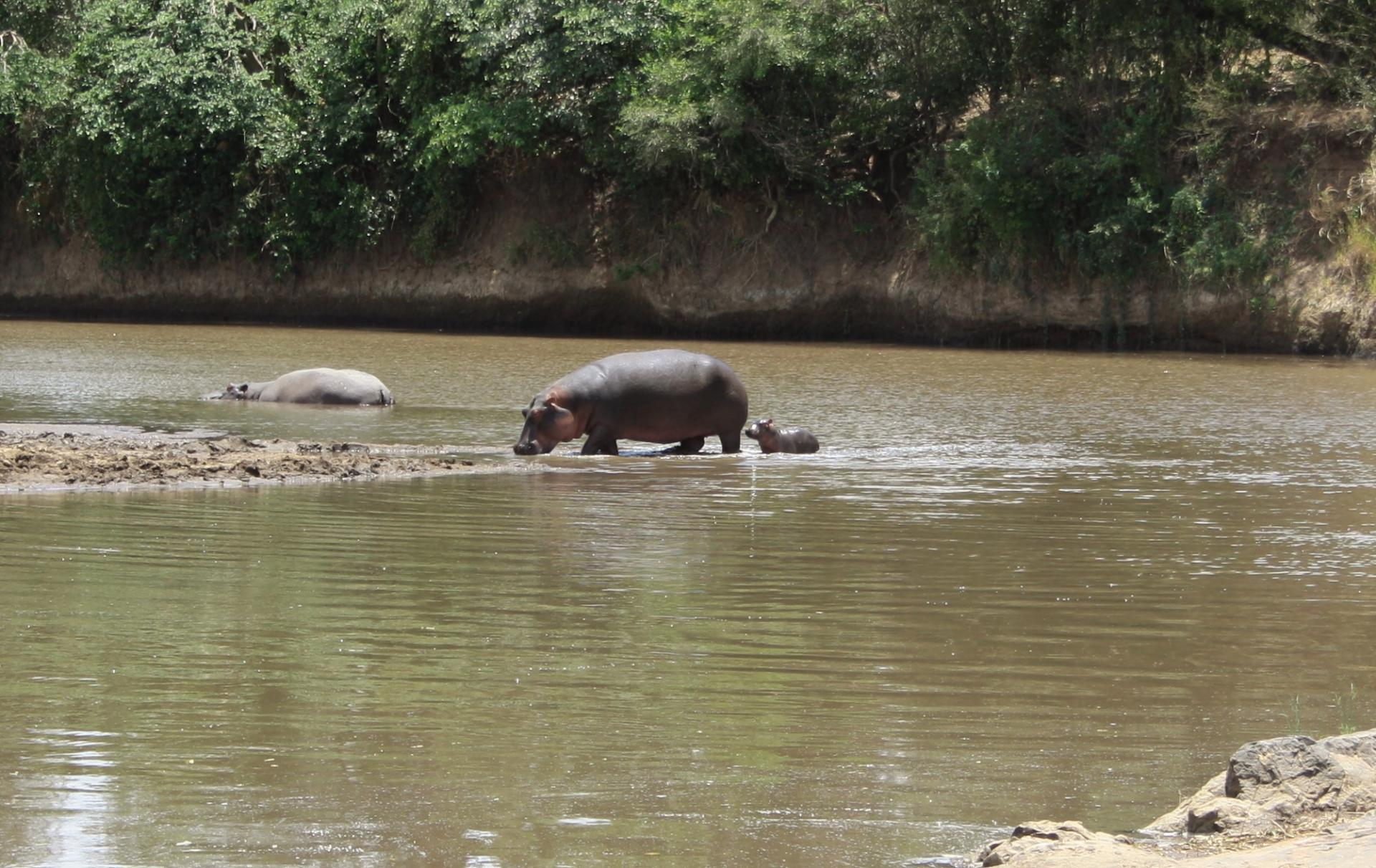 Hippos in Masai Mara River.Photo By  YHA Kenya Travel