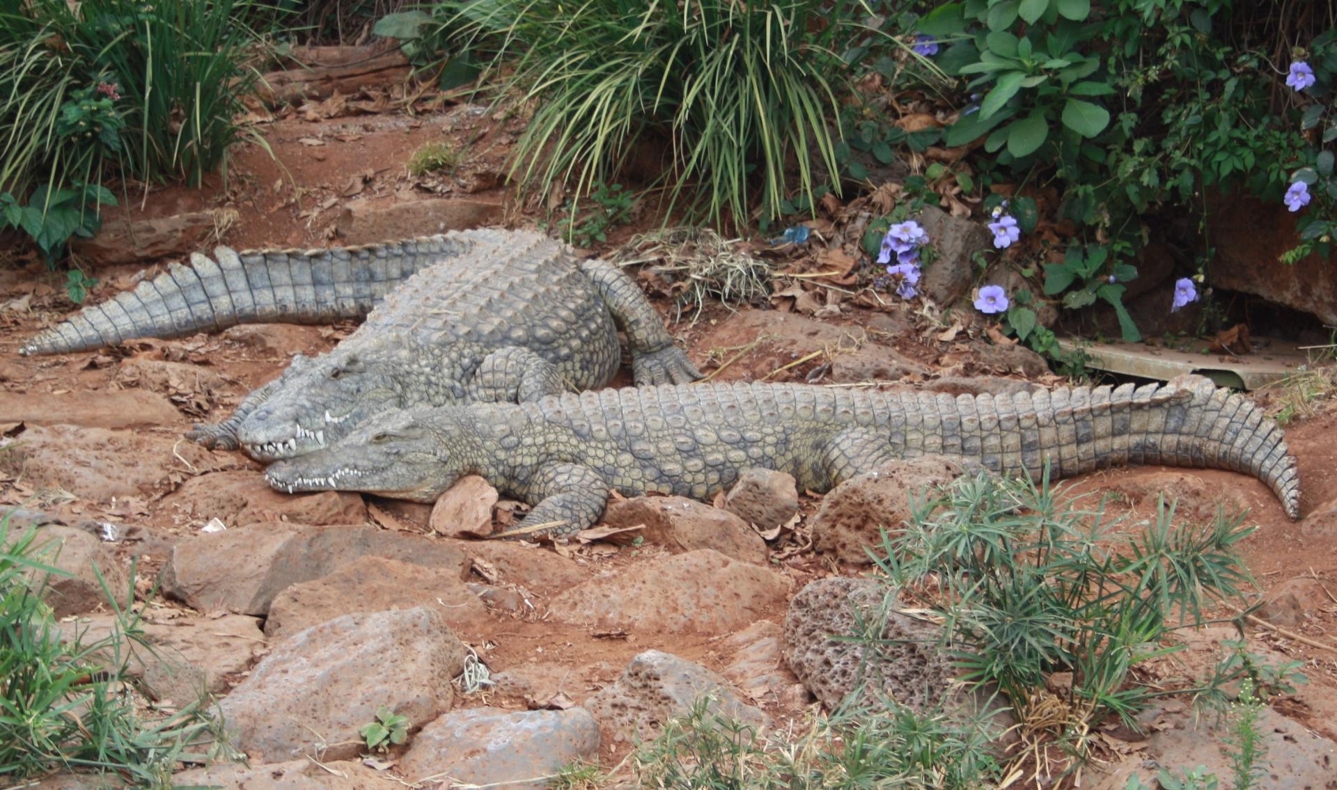 Crocodiles In Mara River.Photo By YHA Kenya Travel