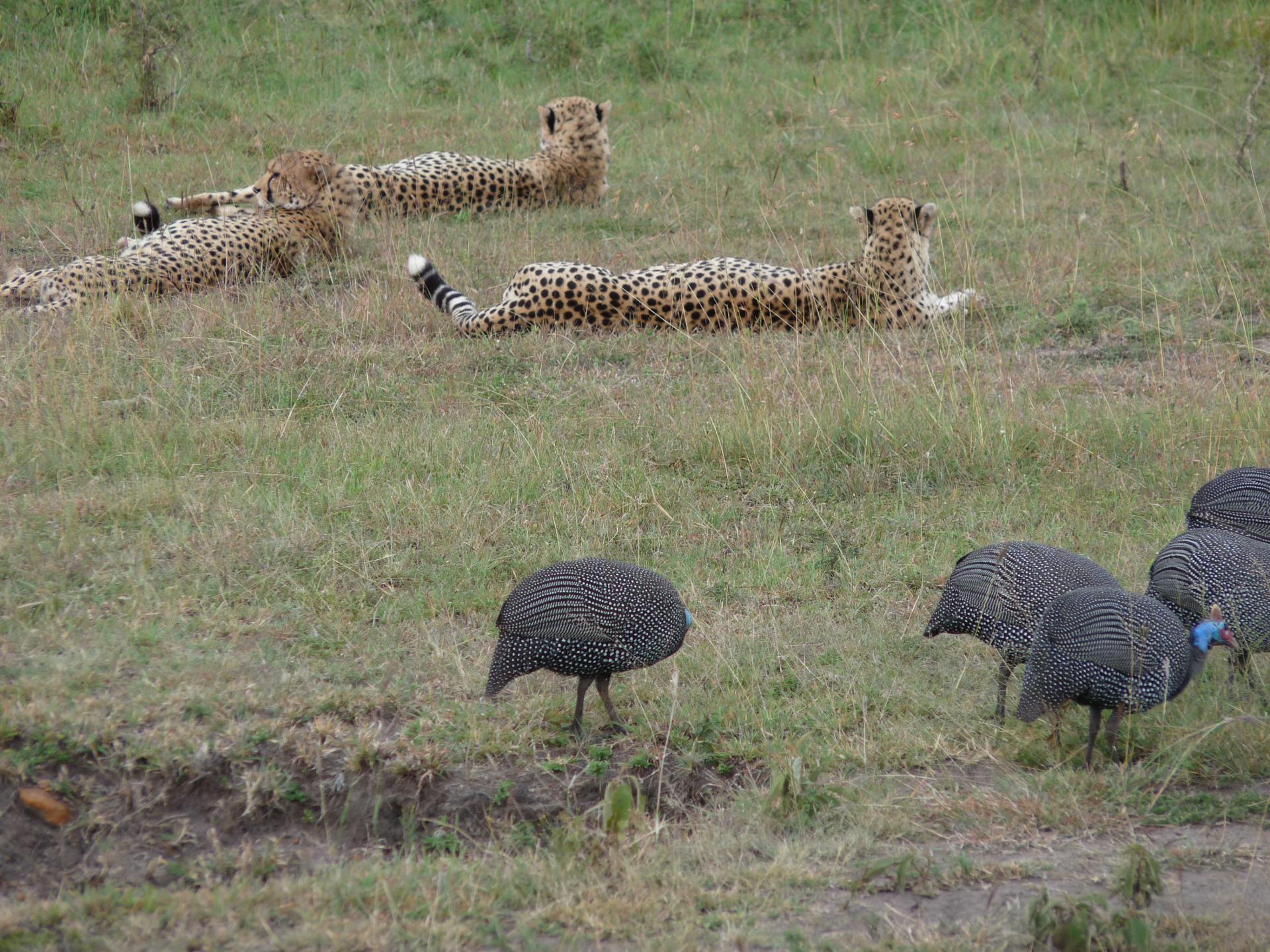 Kenya Adventure Safaris/yha kenya travel/ Cheetah