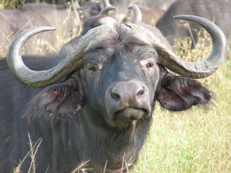 Buffaloes Masai Mara Budget Safari